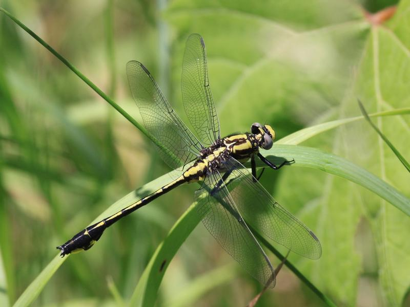 Photo of Midland Clubtail