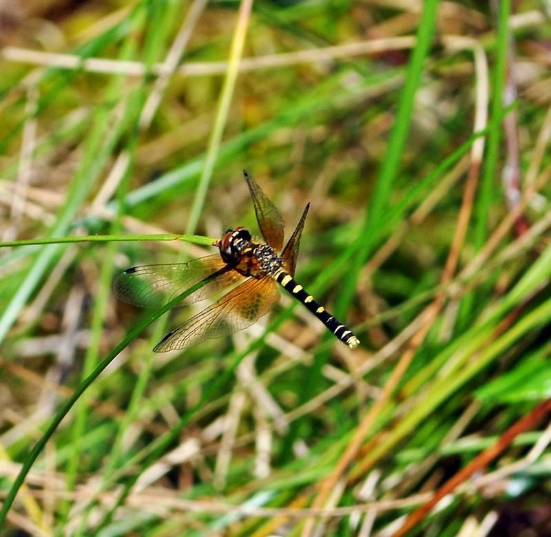 Photo of Elfin Skimmer