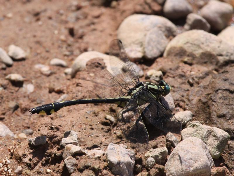 Photo of Splendid Clubtail
