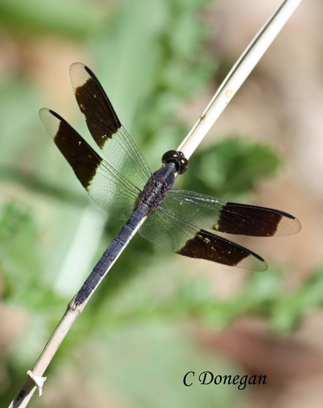 Photo of Band-winged Dragonlet