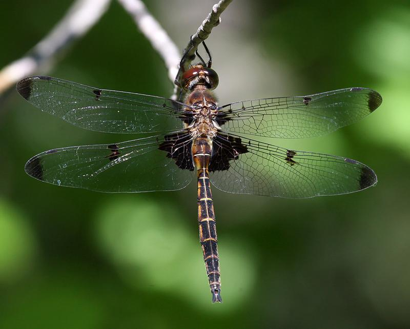 Photo of Prince Baskettail
