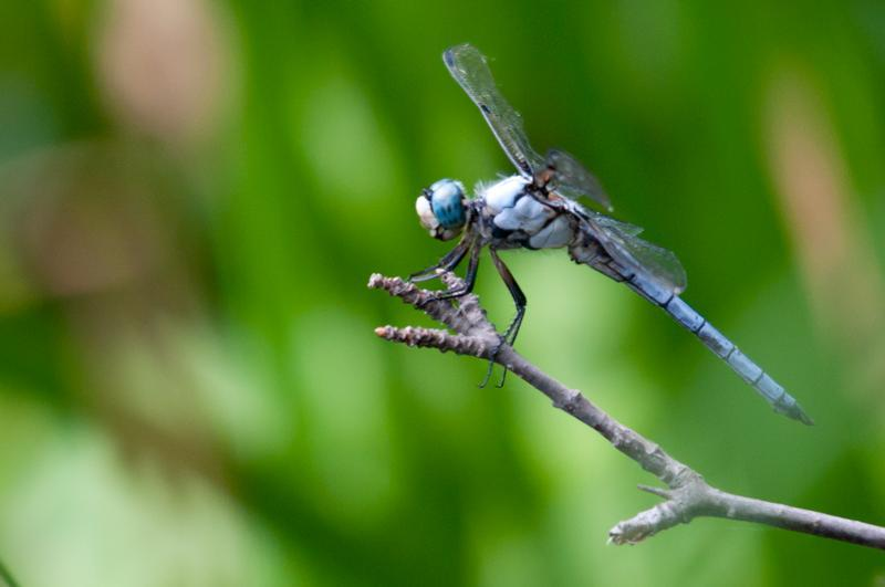 Photo of Great Blue Skimmer