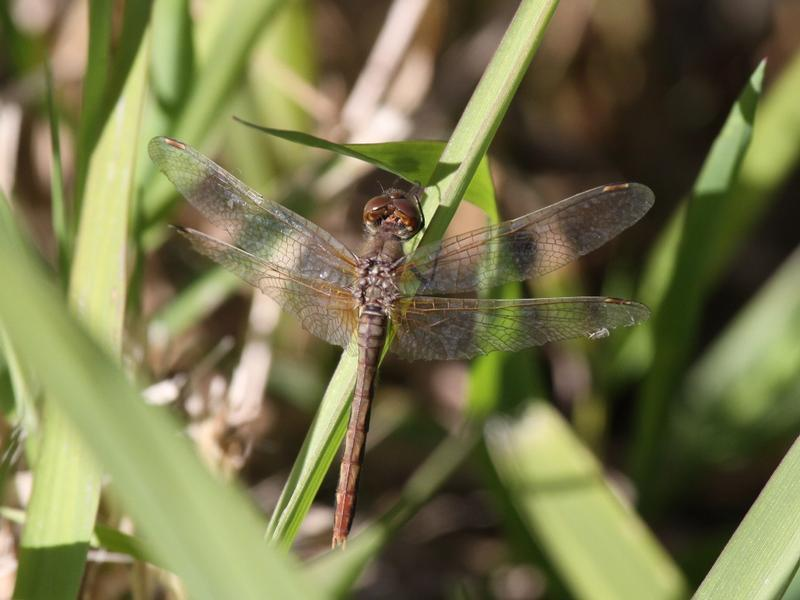 Photo of Cherry-faced Meadowhawk