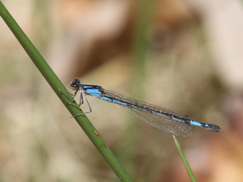 Photo of Skimming Bluet
