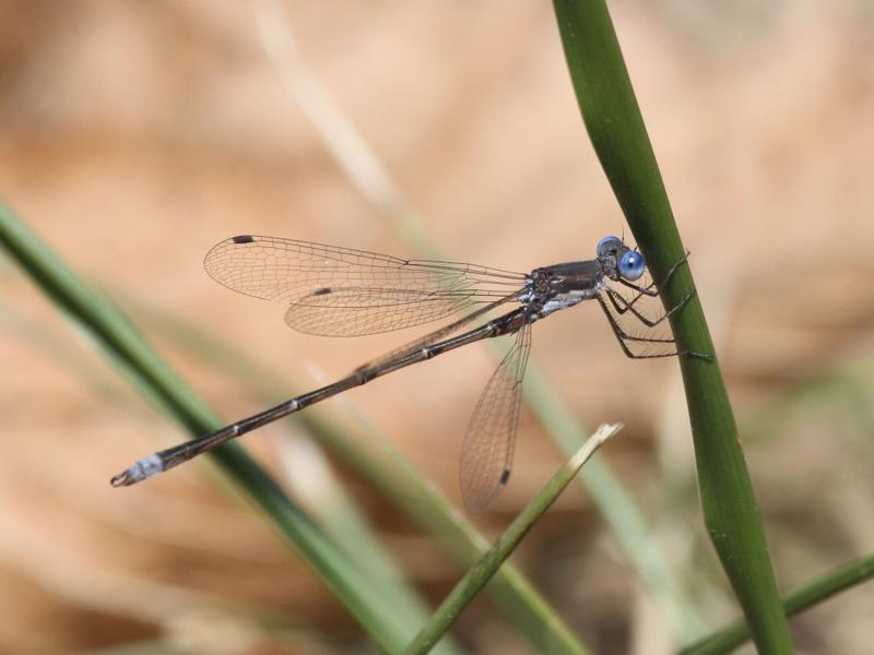 Photo of Spotted Spreadwing