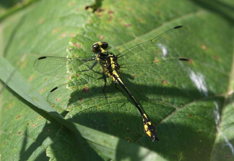 Photo of Riverine Clubtail