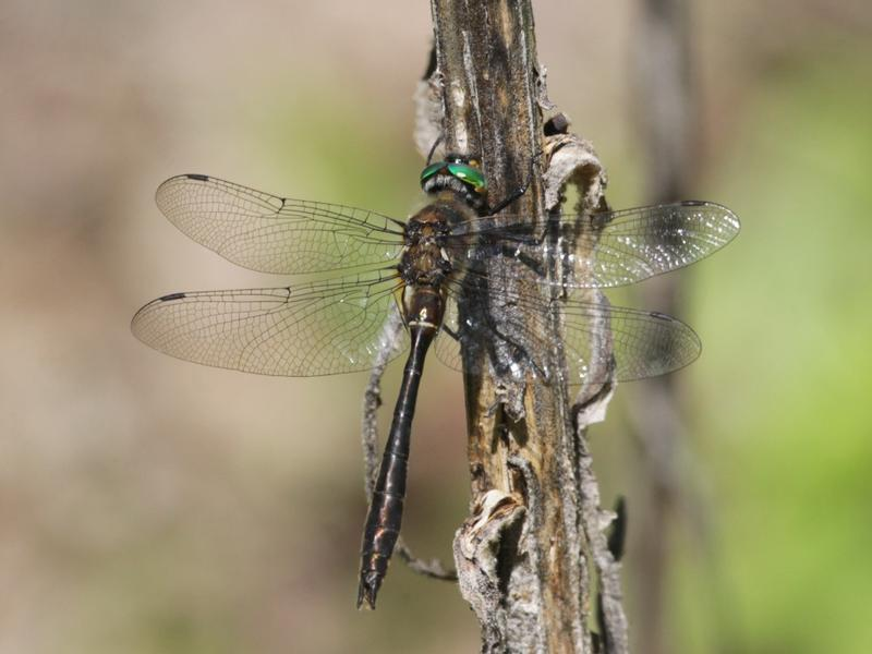 Photo of Racket-tailed Emerald