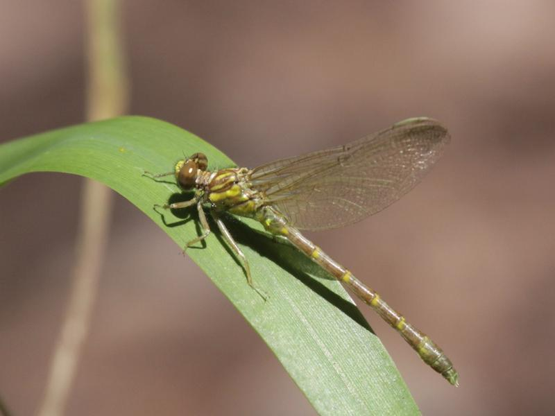 Photo of Eastern Least Clubtail