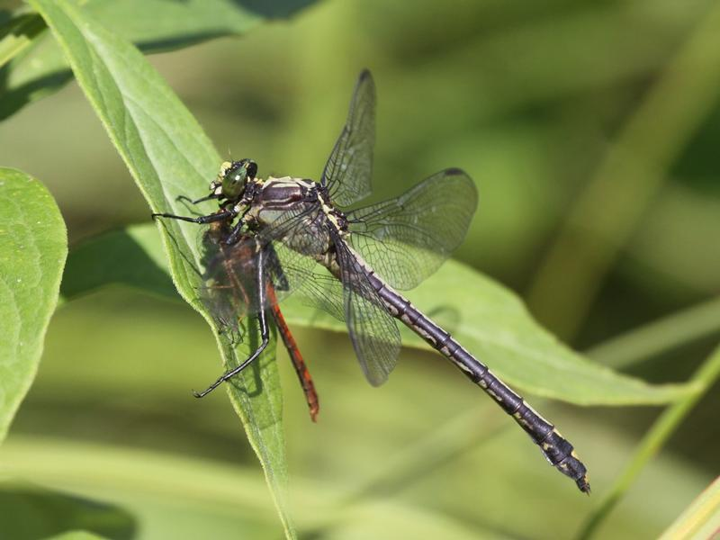Photo of Black-shouldered Spinyleg