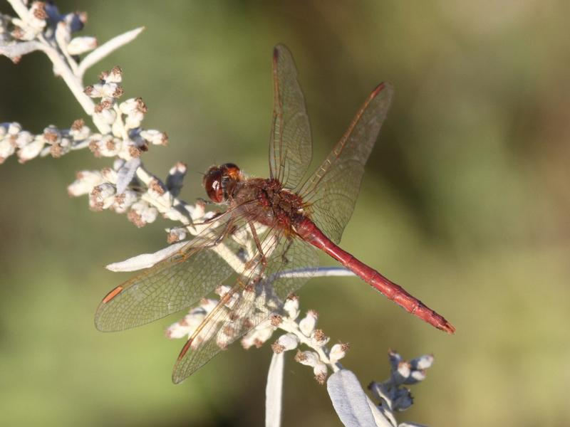 Photo of Saffron-winged Meadowhawk