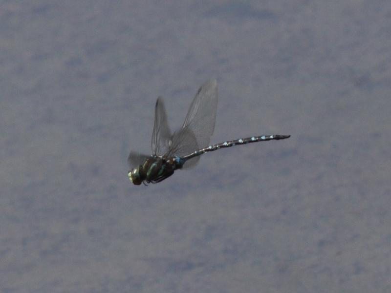 Photo of Black-tipped Darner