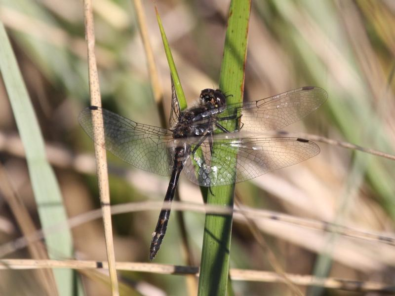 Photo of Black Meadowhawk
