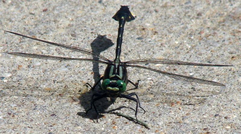 Photo of Cobra Clubtail