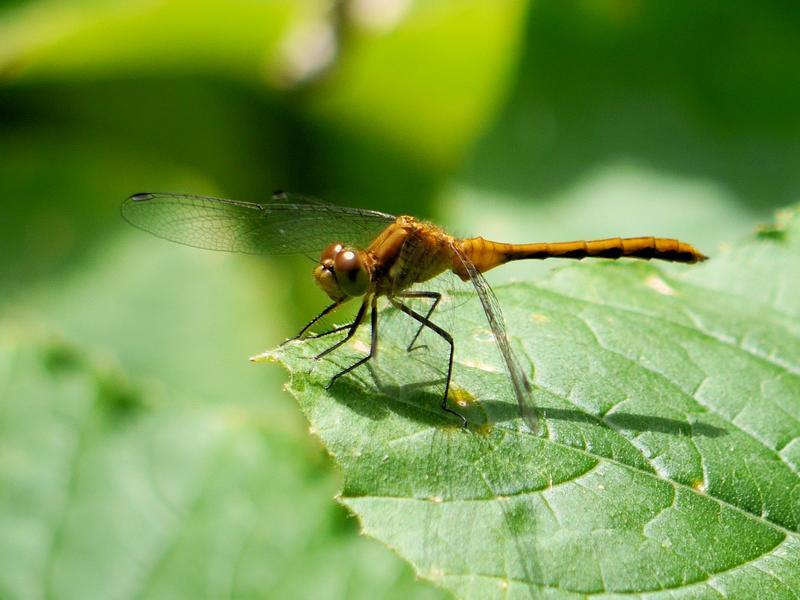 Photo of White-faced Meadowhawk