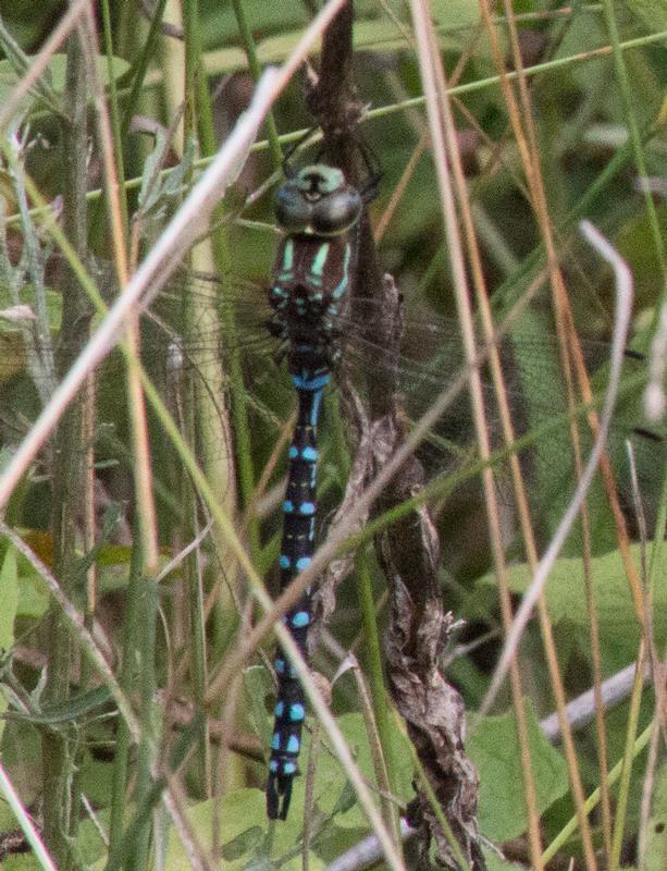 Photo of Lance-tipped Darner