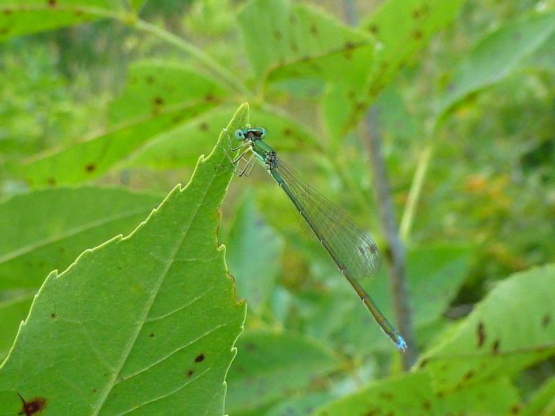 Photo of Sedge Sprite