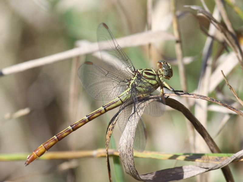 Photo of Russet-tipped Clubtail
