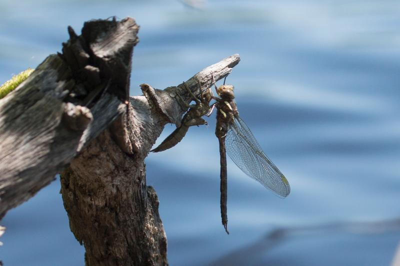 Photo of Springtime Darner
