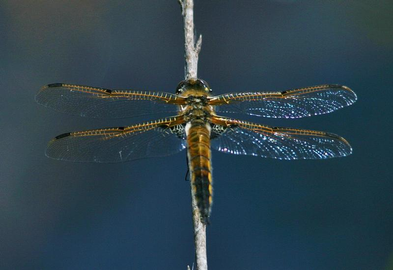 Photo of Four-spotted Skimmer