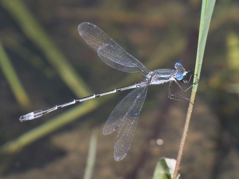 Photo of Southern Spreadwing