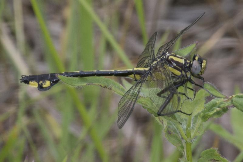 Photo of Skillet Clubtail