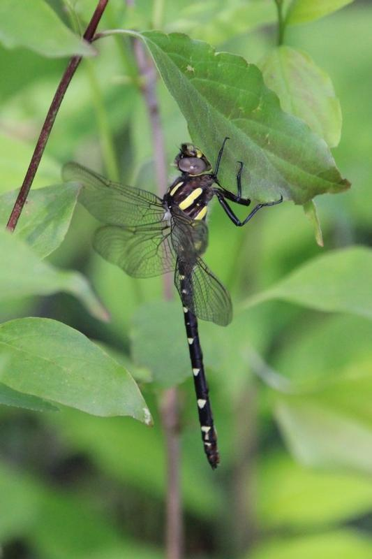 Photo of Twin-spotted Spiketail