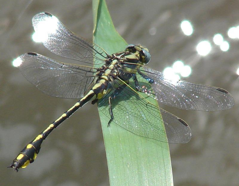 Photo of Pronghorn Clubtail