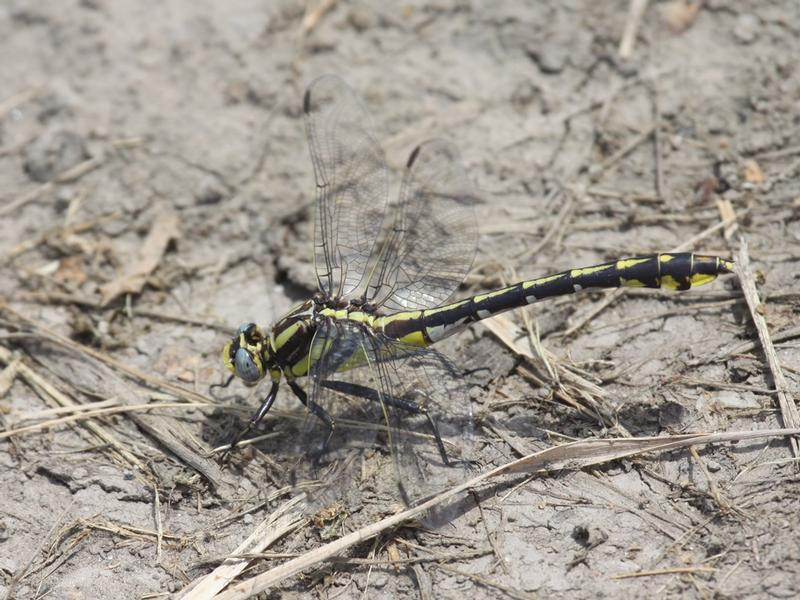 Photo of Plains Clubtail