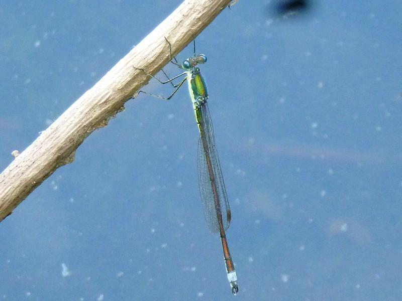 Photo of Elegant Spreadwing