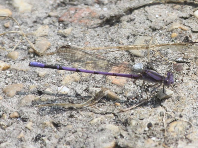 Photo of Variable Dancer (Violet Dancer ssp.)