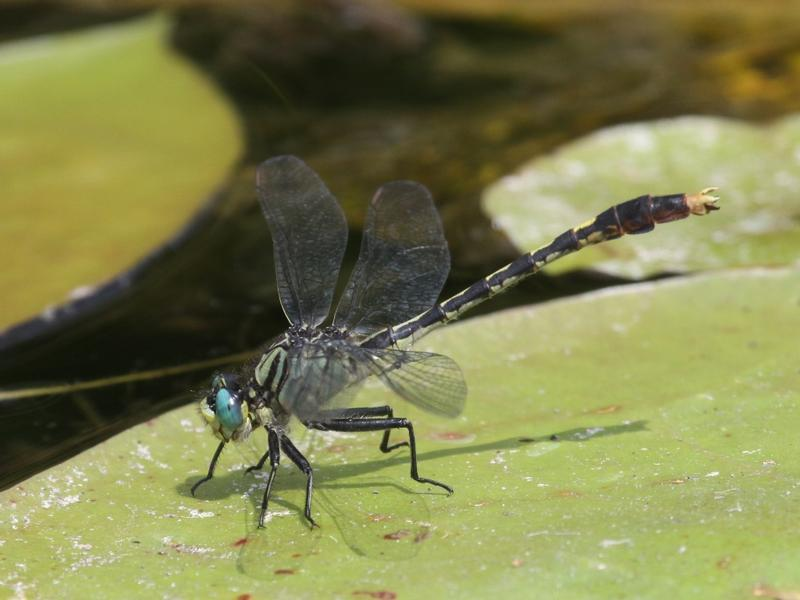 Photo of Unicorn Clubtail