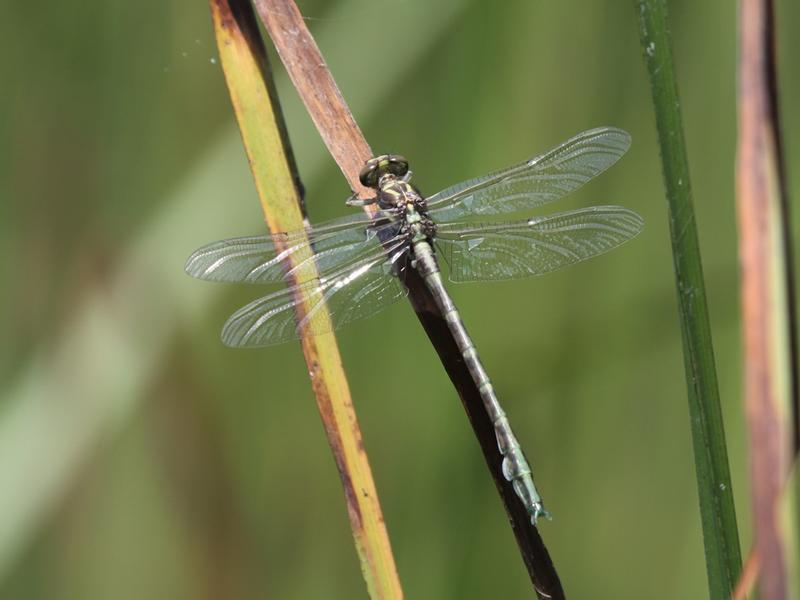 Photo of Arrow Clubtail