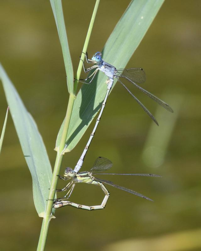 Photo of Lyre-tipped Spreadwing