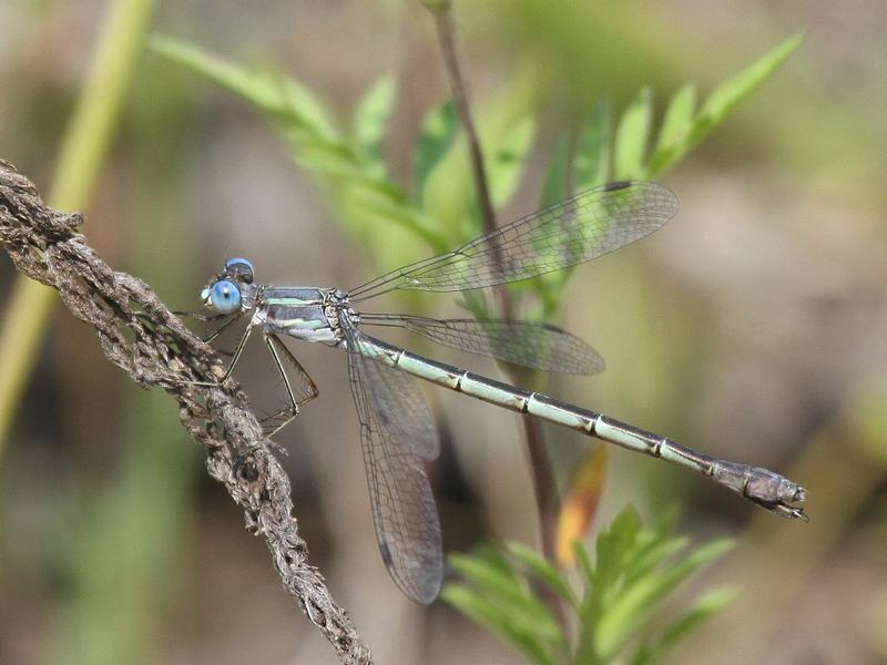 Photo of Sweetflag Spreadwing