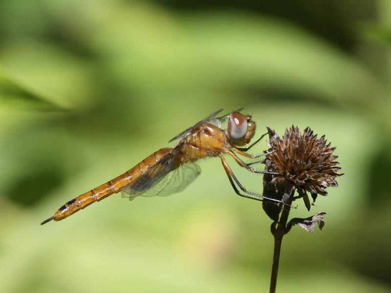 Photo of Red Saddlebags