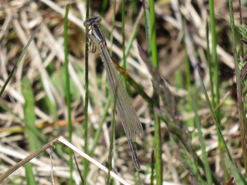 Photo of Boreal Bluet