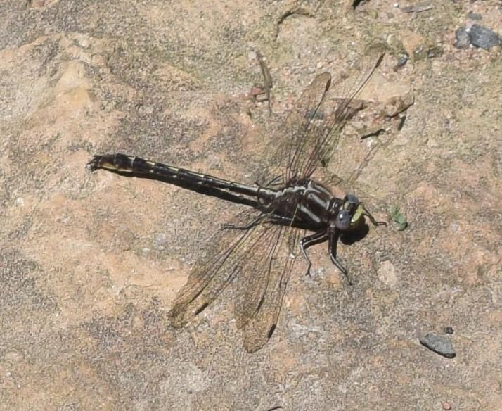 Photo of Ashy Clubtail