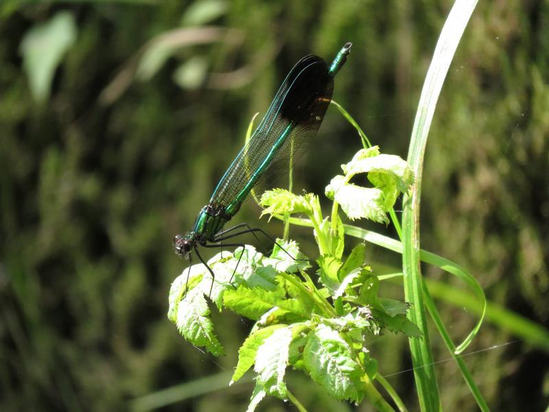 Photo of River Jewelwing