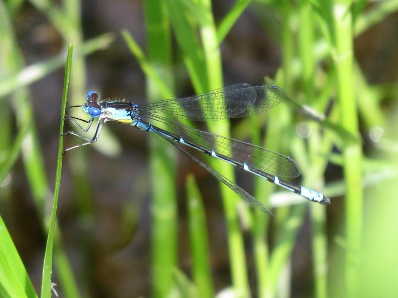 Photo of Aurora Damsel