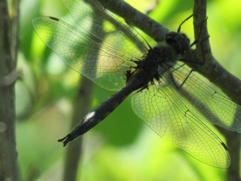 Photo of Spiny Baskettail