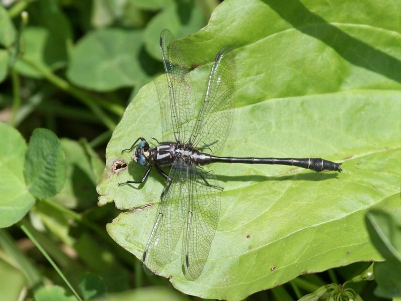 Photo of Rapids Clubtail