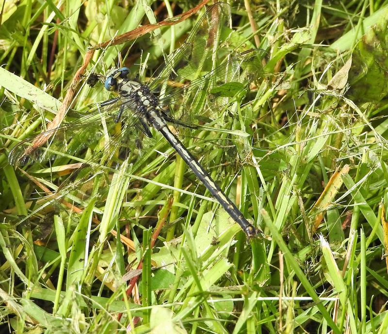 Photo of Horned Clubtail