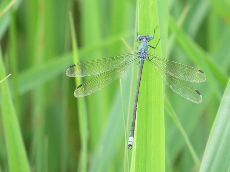 Photo of Amber-winged Spreadwing