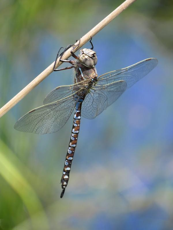 Photo of Variable Darner