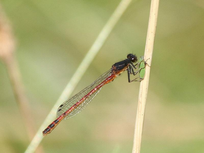 Photo of Western Red Damsel
