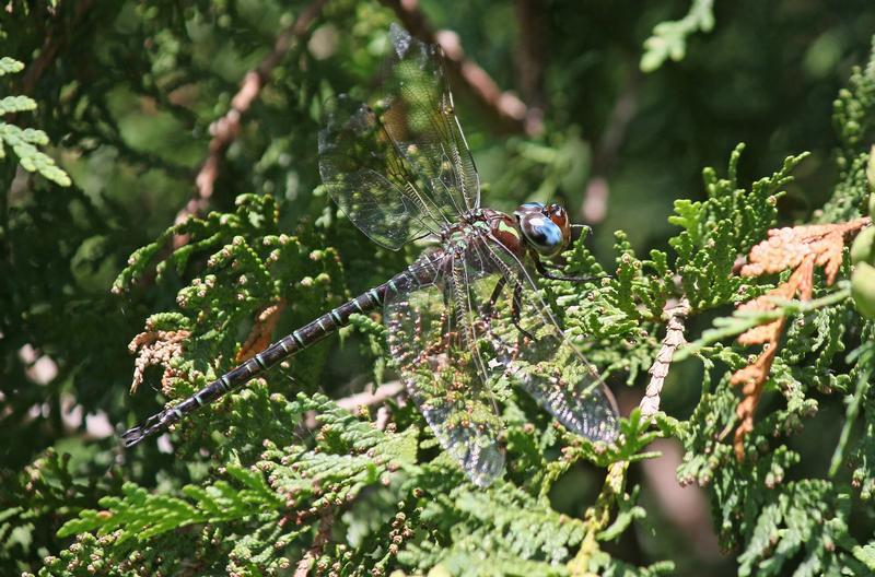 Photo of Swamp Darner