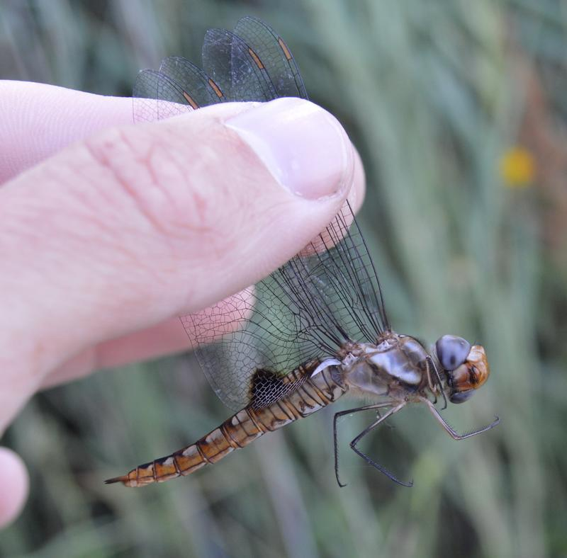 Photo of Spot-winged Glider