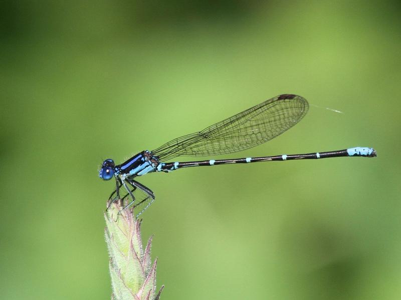 Photo of Blue-ringed Dancer