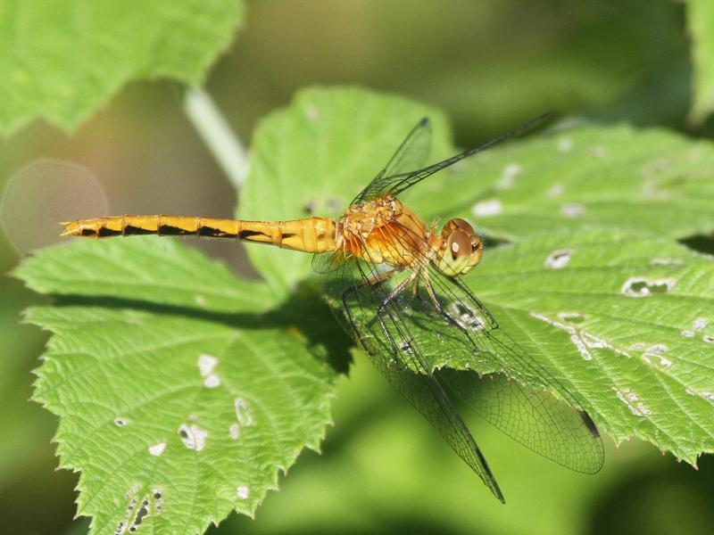 Photo of Ruby Meadowhawk