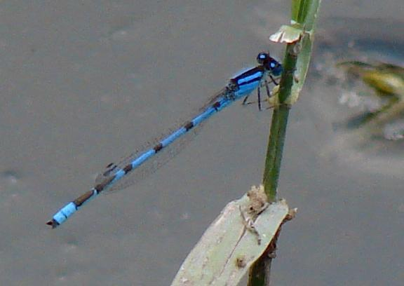 Photo of Familiar Bluet